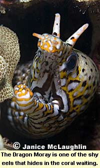 The Dragon Moray is one of the shy eels that hides in the coral waiting to feed.