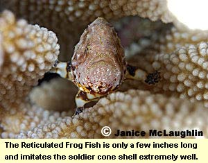 The Reticulated Frog Fish is only a few inches long and imitates the soldier cone shell extremely well