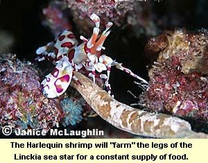 "The Harlequin shrimp will ""farm"" the legs of the Linckia sea star for a constant supply of food"