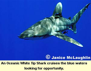 An Oceanic White Tip Shark cruises the blue waters looking for opportunity.
