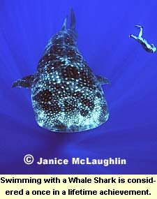 Swimming with a Whale Shark is considered a once in a lifetime achievement.